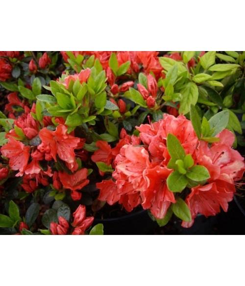 Рододендрон тупой Гейша Орандж (Rhododendron obt. 'Geisha orange) контейнер 2л