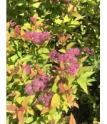 Спирея японская Файерлайт (Spiraea japonica Firelight) контейнер 3л