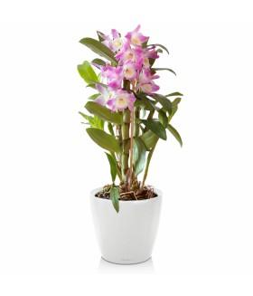 Орхидея-Дендробиум в кашпо с системой автополива