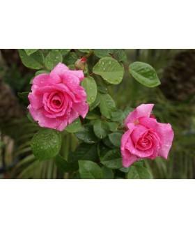 Роза плетистая  Zephirine Drouhin (Россия), контейнер 5 л