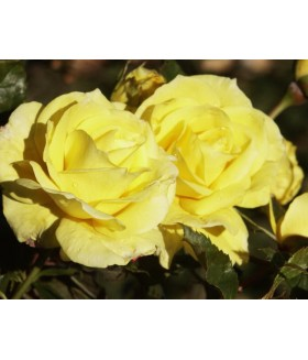 Роза флорибунда Fresia (Польша), контейнер 5 л