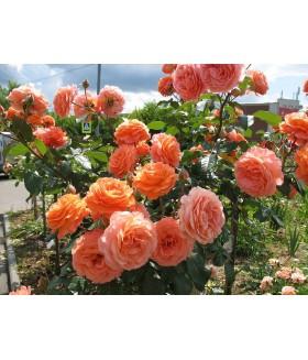 Роза кустовая шраб Belvedere (Россия), контейнер 3 л