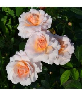 Роза кустовая шраб Schloss Eutin (Россия), контейнер 5 л
