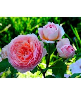 Роза кустовая шраб Abraham Darby (Россия), контейнер 3 л