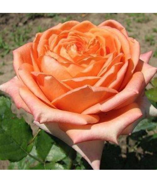 Роза чайно-гибридная Eldorado, контейнер 5 л