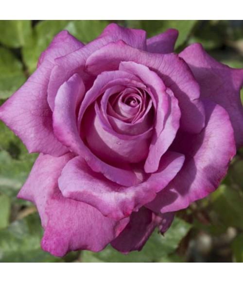Роза чайно-гибридная Claude Brasseur, контейнер 5 л