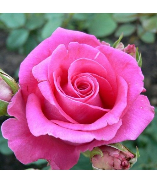 Роза чайно-гибридная Fana, контейнер 5 л