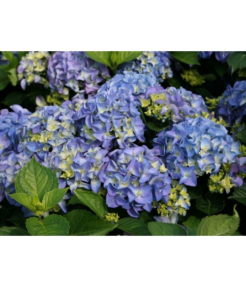 Гортензия макрофила 'Early Blue' (Hydrangea macrophilla), контейнер 2л, высота 40/+