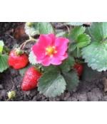 Земляника садовая (клубника) Дженни