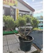 """Сосна обыкновенная бонсай """"Argentea Compacta""""(Pinus sylvestris), контейнер 60 л, размер 100/120"""
